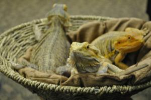 iguana hangout